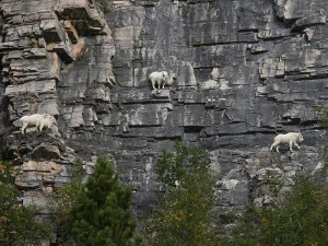 mountain-goat-9